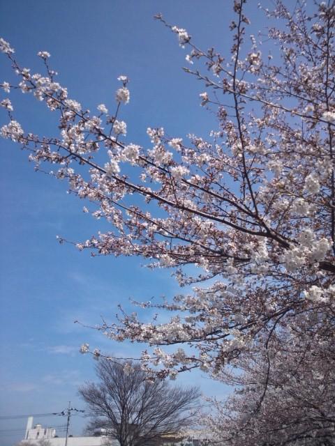 桜・・・満開